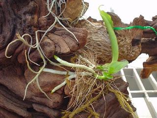 chiet-tach-hoa-lan-dendro-1 Chiết tách hoa lan Dendro từ cây mẹ