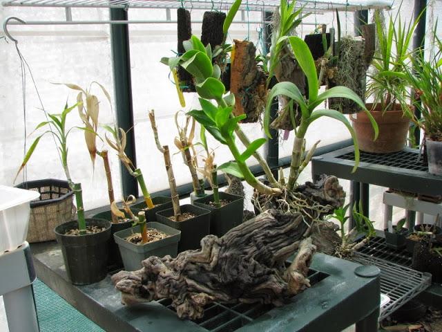 chiet-tach-hoa-lan-dendro-2 Chiết tách hoa lan Dendro từ cây mẹ
