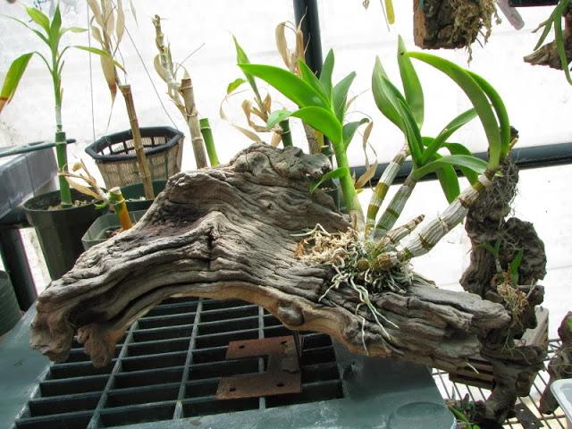 chiet-tach-hoa-lan-dendro-3 Chiết tách hoa lan Dendro từ cây mẹ