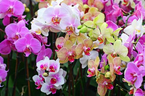 hinh-anh-hoa-phong-lan-dep4 Ý nghĩa của hoa phong lan