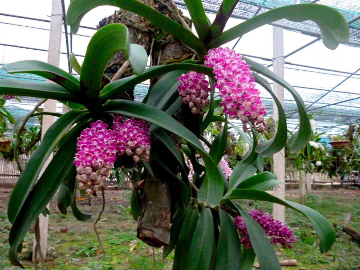 lan-ngoc-diem-rung Các loài hoa lan đẹp nở vào dịp tết