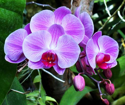 phuong-phap-khac-phuc-lan-ho-diep-rung-hoa-thoi-nu-1 Phương pháp khắc phục lan hồ điệp rụng hoa, thối nụ