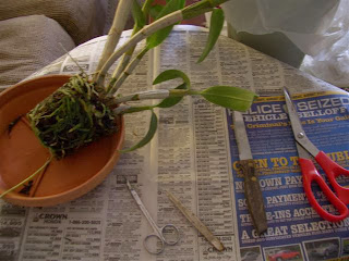 thay-chau-hoa-lan-dendro-1 Thay chậu hoa lan Dendro khi nào?