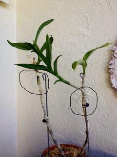 thay-chau-hoa-lan-dendro Thay chậu hoa lan Dendro khi nào?