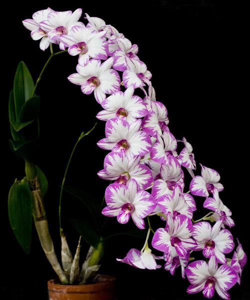 tim-hieu-cau-tao-cua-hoa-lan-1 Tìm hiểu cấu trúc đặc biệt của hoa lan