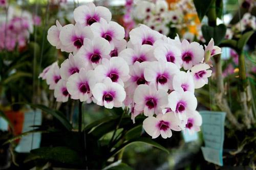 y-nghia-hoa-lan1 Ý nghĩa của hoa phong lan