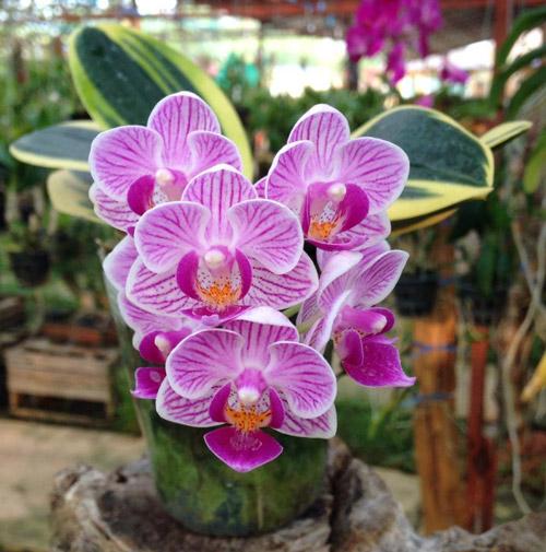 y-nghia-hoa-lan2 Ý nghĩa của hoa phong lan