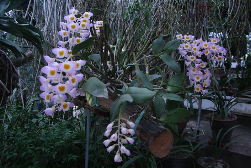 Thuy-tien-tim-Dendrobium-amabile Các loài hoa lan đẹp nở vào dịp tết
