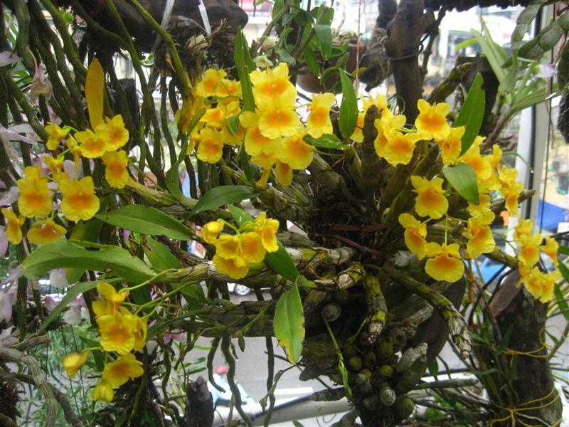 hoa-lan-kim-diep Các loài hoa lan đẹp nở vào dịp tết