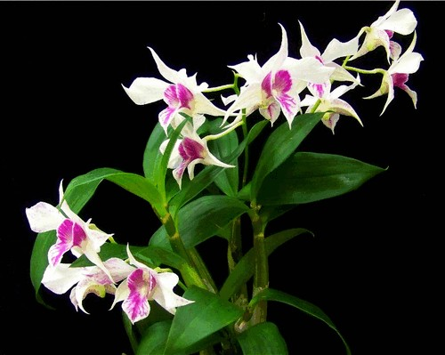 ky-thuat-trong-lan-hoang-thao-3 Kỹ thuật trồng lan Hoàng Thảo
