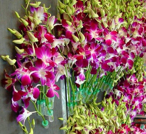 ky-thuat-trong-lan-hoang-thao Kỹ thuật trồng lan Hoàng Thảo