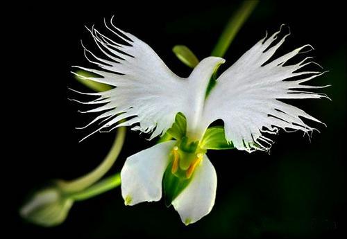 nhung-loai-hoa-lan-co-hinh-dang-giong-dong-vat-10 Những loài hoa lan có hình dáng giống động vật