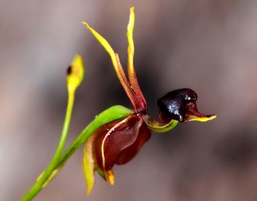 nhung-loai-hoa-lan-co-hinh-dang-giong-dong-vat-17 Những loài hoa lan có hình dáng giống động vật