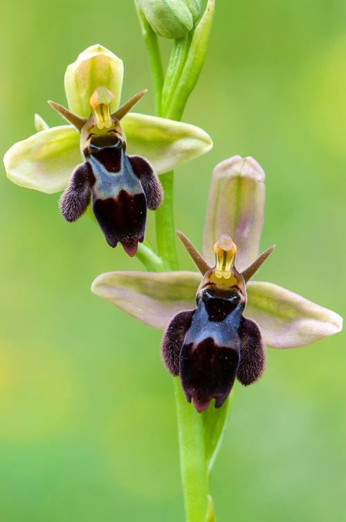 nhung-loai-hoa-lan-co-hinh-dang-giong-dong-vat-4 Những loài hoa lan có hình dáng giống động vật