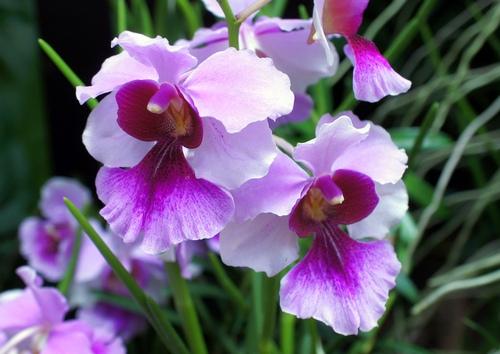 nhung-loai-hoa-lan-co-hinh-dang-giong-dong-vat-9 Những loài hoa lan có hình dáng giống động vật