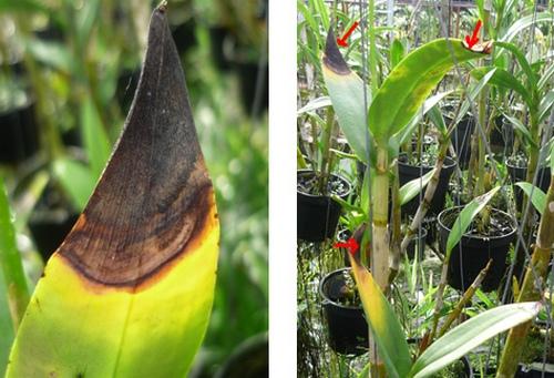 nhung-loai-sau-benh-tren-cay-hoa-lan-va-cach-phong-tri-3 Những loài sâu bệnh trên cây hoa lan và cách phòng trị