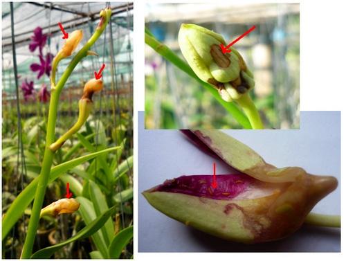 nhung-loai-sau-benh-tren-cay-hoa-lan-va-cach-phong-tri-4 Những loài sâu bệnh trên cây hoa lan và cách phòng trị