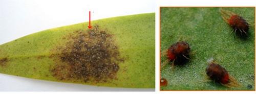 nhung-loai-sau-benh-tren-cay-hoa-lan-va-cach-phong-tri-6 Những loài sâu bệnh trên cây hoa lan và cách phòng trị