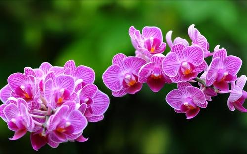 y-nghia-cua-loai-hoa-phong-lan-2 Ý nghĩa của loài hoa phong lan