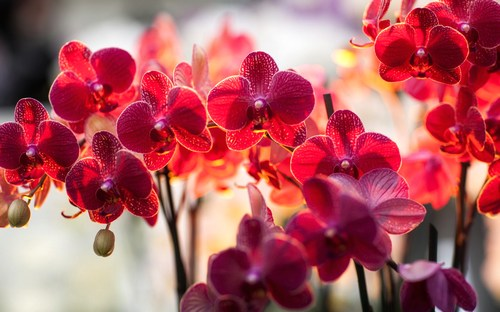 y-nghia-cua-loai-hoa-phong-lan Ý nghĩa của loài hoa phong lan