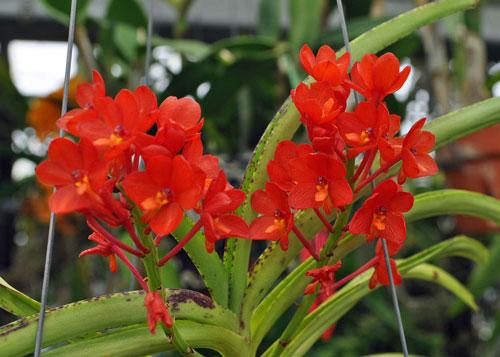 ky-thuat-trong-lan-vanda-4 Kỹ thuật trồng lan Vanda