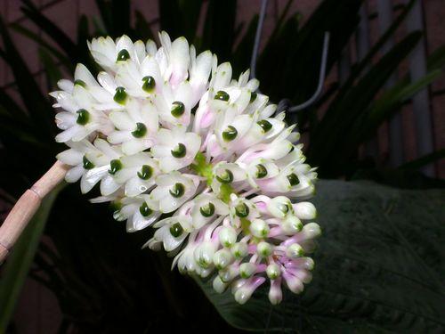 lan-bao-hy-dendrobium-secundum Lan báo hỷ - Dendrobium Secundum